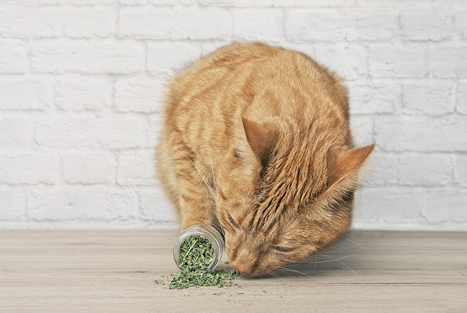 The Inside Scoop on Catnip
