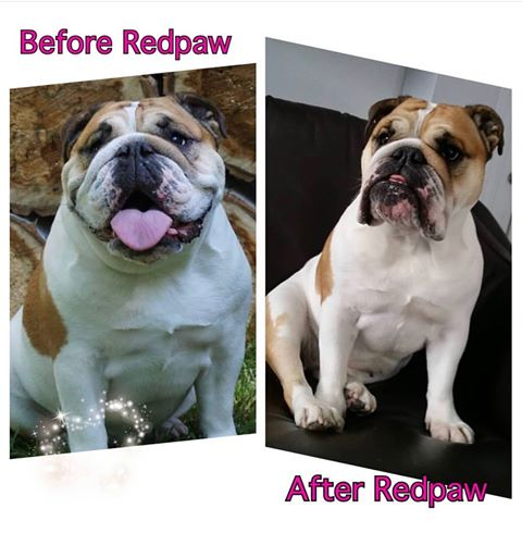 Eleanor the Bulldog Testimonial - Redpaw X-Series Dog Food